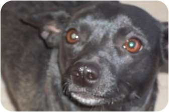 Chihuahua Mix Dog for adoption in Arenas Valley, New Mexico - Ebby
