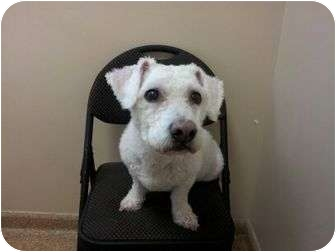 Bichon Frise Mix Dog for adoption in West Deptford, New Jersey - Fluffy