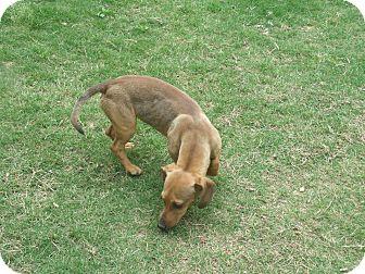 Dachshund Mix Dog for adoption in Gadsden, Alabama - Ricco