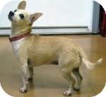 Chihuahua Dog for adoption in Snohomish, Washington - Gladys