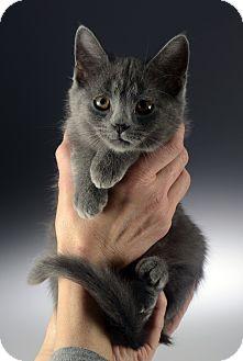 Domestic Shorthair Kitten for adoption in Cincinnati, Ohio - Simon