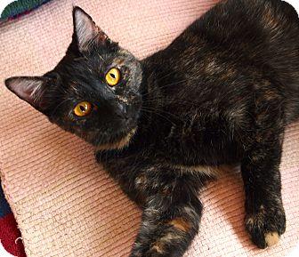 Domestic Shorthair Cat for adoption in Buhl, Idaho - Ravenna