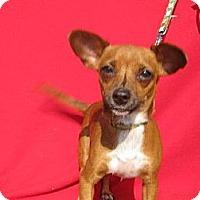 Chihuahua Dog for adoption in Elk Grove, California - OCTAVIA