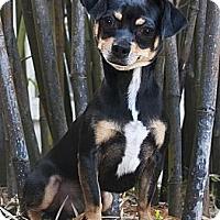 Adopt A Pet :: Gino - North Palm Beach, FL