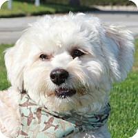 Adopt A Pet :: Stevie - La Costa, CA
