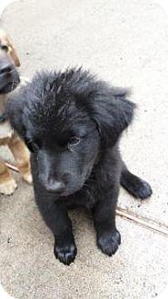 Shepherd (Unknown Type) Mix Puppy for adoption in New Boston, New Hampshire - Kari