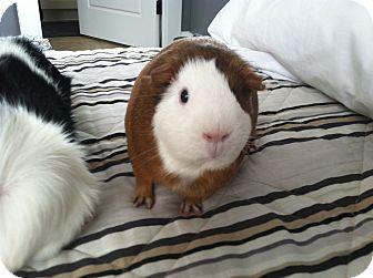 Guinea Pig for adoption in Greenville, North Carolina - Cocoa