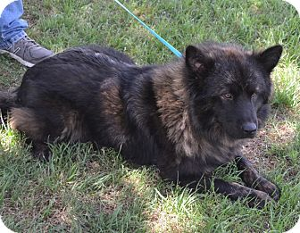 Chow Chow Mix Dog for adoption in Cleburne, Texas - Bear
