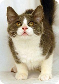 Domestic Shorthair Cat for adoption in Newland, North Carolina - Ken