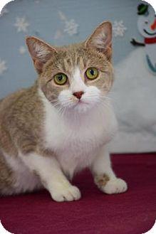 Domestic Shorthair Cat for adoption in Bradenton, Florida - Lara