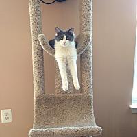 Domestic Mediumhair Kitten for adoption in Ladysmith, Virginia - Frappe