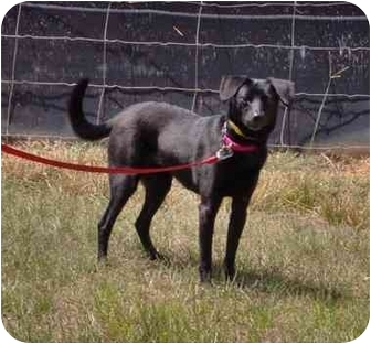 Terrier (Unknown Type, Small)/Labrador Retriever Mix Dog for adoption in Inman, South Carolina - Lacie