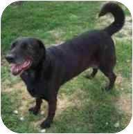 Labrador Retriever/Dachshund Mix Dog for adoption in Ft. Pierce, Florida - Roxanne