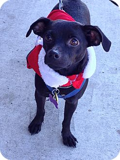 Chihuahua/Terrier (Unknown Type, Small) Mix Dog for adoption in Schertz, Texas - Dallas BW