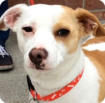 Jack Russell Terrier/Dachshund Mix Dog for adoption in Los Angeles, California - HART (video)