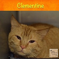 Domestic Shorthair Cat for adoption in Washington, Pennsylvania - Clementine