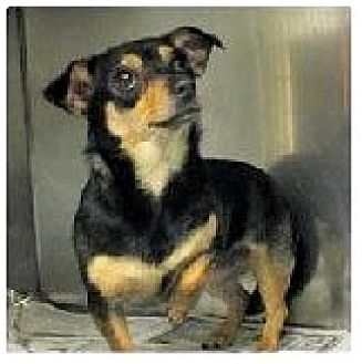 Pug/Chihuahua Mix Dog for adoption in Forest Ranch, California - Pixie