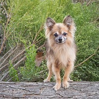 Pomeranian/Chihuahua Mix Dog for adoption in Capistrano Beach, California - Billy Bob