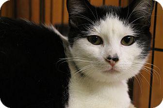 Domestic Shorthair Kitten for adoption in Medina, Ohio - Ares