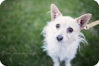 Cairn Terrier/Chihuahua Mix Dog for adoption in Phoenix, Arizona - Chica