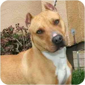 American Pit Bull Terrier Mix Dog for adoption in Berkeley, California - Patches