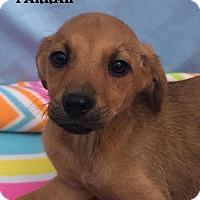 Adopt A Pet :: Farrah - East Sparta, OH