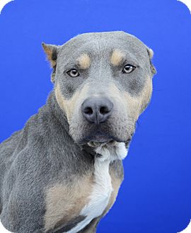 Staffordshire Bull Terrier Mix Dog for adoption in LAFAYETTE, Louisiana - MAJOR