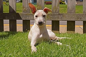 Terrier (Unknown Type, Medium)/Mixed Breed (Medium) Mix Puppy for adoption in Pittsburgh, Pennsylvania - Aggy