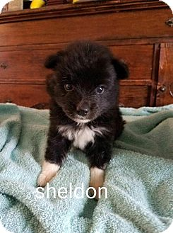 Rat Terrier/Border Collie Mix Puppy for adoption in Providence, Rhode Island - Sheldon