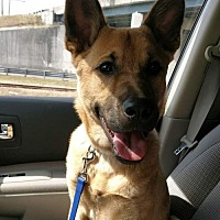 German Shepherd Dog Dog for adoption in Greensboro, North Carolina - Tukka(CL)