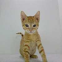 American Shorthair Kitten for adoption in Ponchatoula, Louisiana - ET