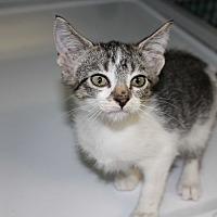Domestic Shorthair Kitten for adoption in Cuero, Texas - Flurry