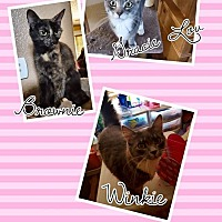 Domestic Shorthair Cat for adoption in Victorville, California - Gracie/Brownie?winky