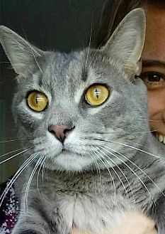 Russian Blue Cat for adoption in Jacksonville, Florida - Grayson