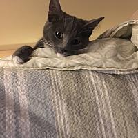 Adopt A Pet :: Rihanna - Dale City, VA
