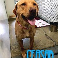 Adopt A Pet :: Caesar - Lagrange, IN