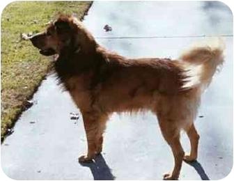 German Shepherd Dog/Chow Chow Mix Dog for adoption in Rolling Hills Estates, California - Bosco