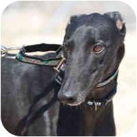 Greyhound Dog for adoption in Tucson, Arizona - Maya