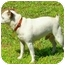 Photo 3 - Jack Russell Terrier Dog for adoption in Terra Ceia, Florida - ENZO