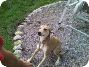 German Shepherd Dog/Husky Mix Dog for adoption in Warren, Michigan - Sierra