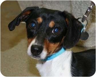 Dachshund/Beagle Mix Dog for adoption in Berea, Ohio - Alfie