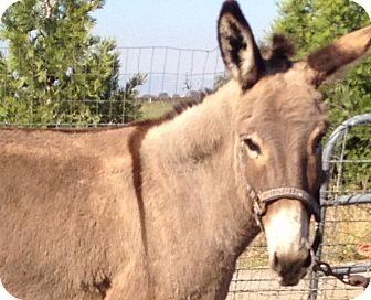 Donkey/Mule/Burro/Hinny Mix for adoption in Sac, California - Maddie