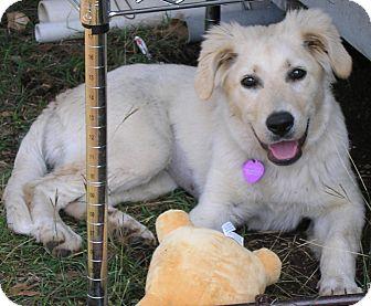 Golden Retriever Mix Puppy for adoption in Austin, Texas - Mylie