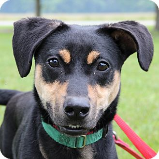 Shepherd (Unknown Type) Mix Dog for adoption in Columbia, Illinois - Amy