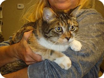 American Shorthair Cat for adoption in Cerritos, California - Suki