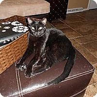 Adopt A Pet :: Sumatra - St. Louis, MO