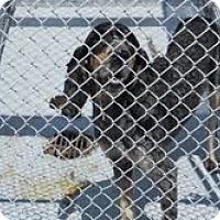 Adopt A Pet :: Blue Tick -animal control - Dundas, VA