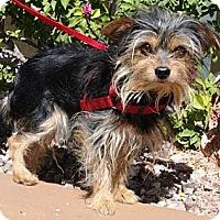 Adopt A Pet :: CoCo - Gilbert, AZ