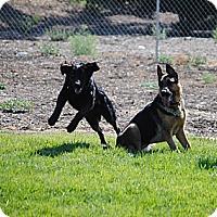 Adopt A Pet :: Desi - Los Angeles, CA
