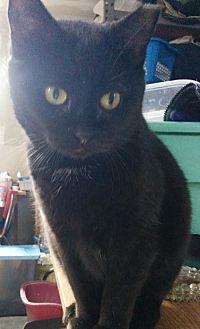 Domestic Shorthair Cat for adoption in Maywood, Illinois - Shasta